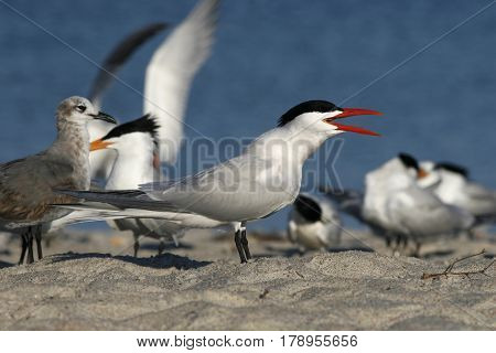 A Caspian Tern, Hydroprogne caspia with a bright red beak in breeding plumage on a beach in Florida
