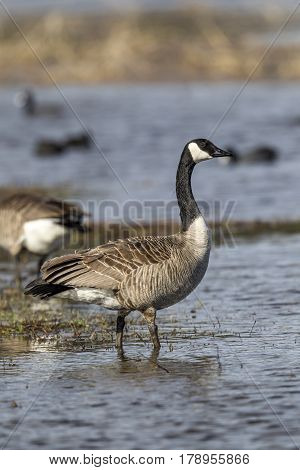 A Canadian Goose is wading in the water of Hauser Lake Idaho.