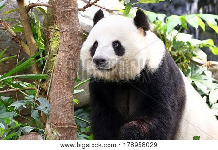 A Giant Panda with a  Smiling face, Chengdu, Szechuan, China