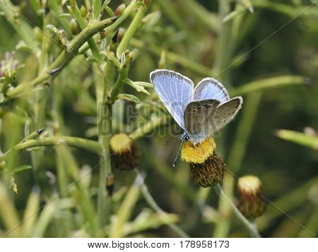 Paphos Blue Butterfly