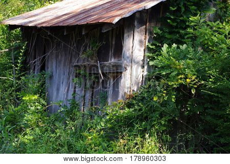Old rustic shed engulfed by wisteria vines