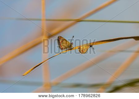Colorful butterflies mating in spring meadow, under warm evening light