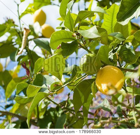 Ripe lemons on lemon tree