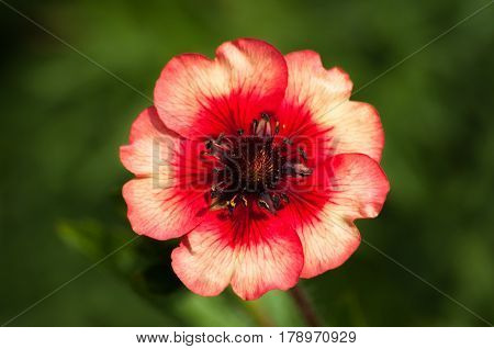 Close up of a red and pink Potentilla with blurred green foliage bokeh background for copy space.
