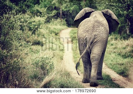 Rear view of the big wild elephant walking in the Kruger national park, safari game drive, South Africa