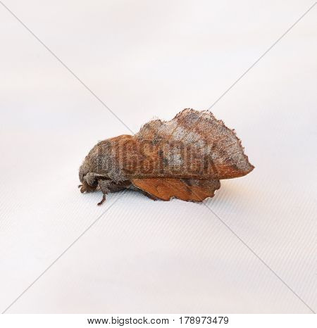 American Lappet Moth (Phyllodesma americana) isolated on a white background