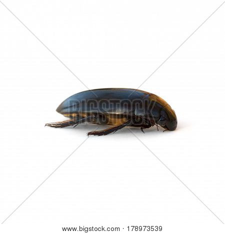 Giant Water Scavenger Beetle (Hydrophilus triangularis) isolated on a white background