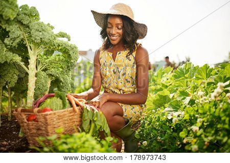 Fashionable black female gardener tending to organic crops at community garden and picking up a basket full of produce