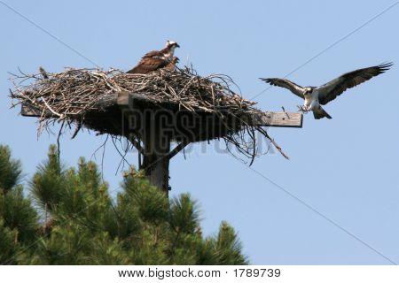 Osprey Landing