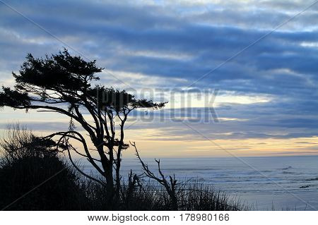 Windswept Trees Silhouetted Against a Cloudy Sunset with the ocean in the background