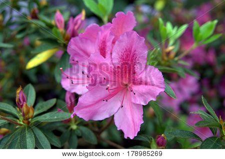 Azalea flowers macro close up pink in full bloom beautiful lovely