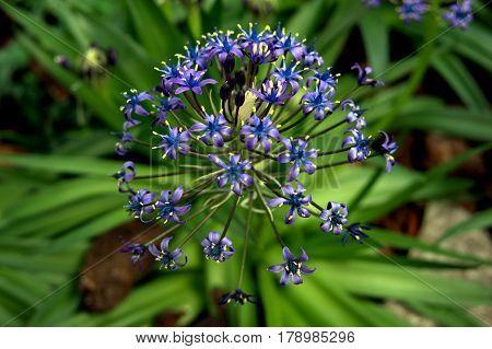 Portuguese Squill Scilla Peruviana flower blue and purple macro close up beautiful