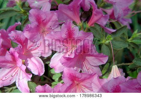 Azalea flowers in full bloom pink in sunlight