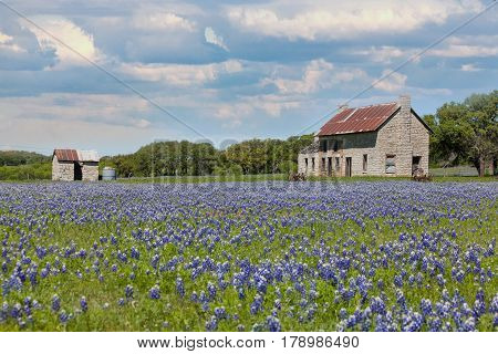 An old farmhouse with lots of bluebonnets