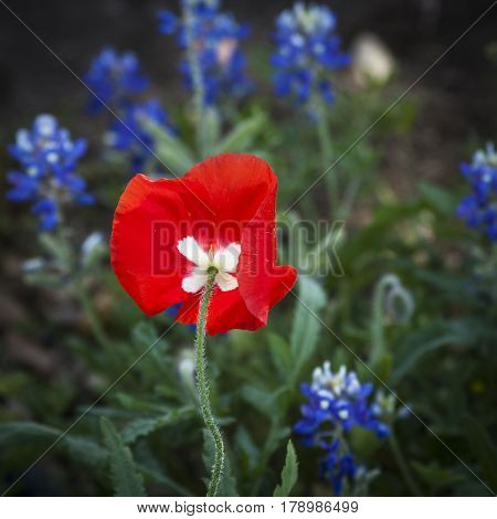 A red poppy amidst the bluebonnets in Texas