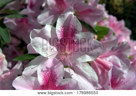 beautiful lovely Azalea flowers macro up close white and pink in the sunlight