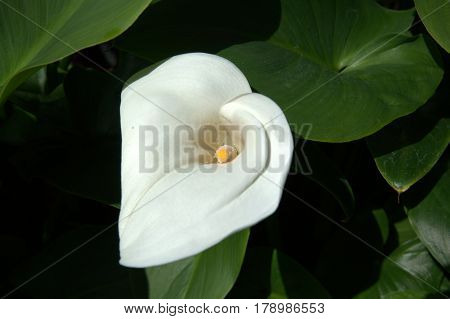 White Calla Lily Zantedeschia aethiopica macro close up