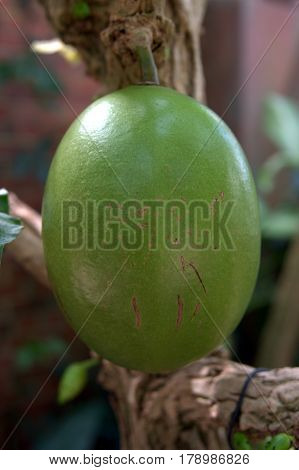 Calabash green fruit growing on a tree