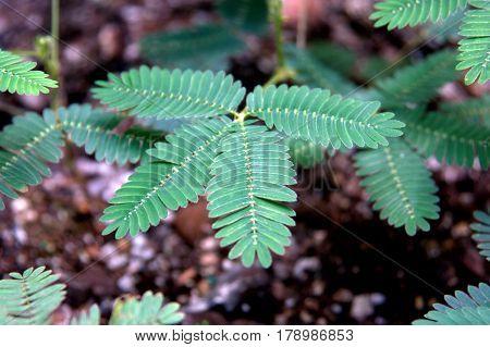 Sensitive Plant Green Leaves Mimosa Pudica macro close up