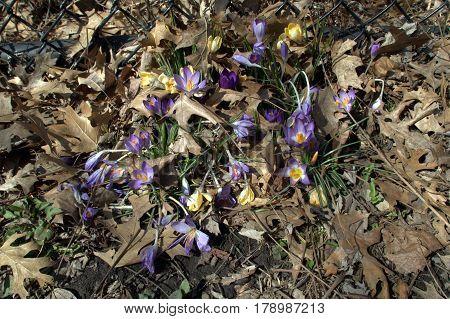 Crocus flowers in full bloom in early spring