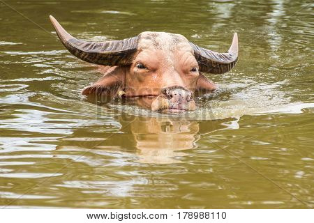 White buffalo in swamp in rural of Thailand