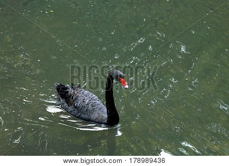 This black swan with the red beak lives in Sintra, Portugal