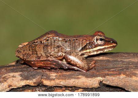 Male Wood Frog (Rana sylvatica) sunning on a log