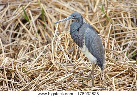 Tricolored Heron (Egretta tricolor) in the Florida Everglades