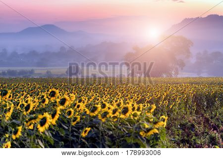 Sunflower field and sunrise . Field of blooming sunflowers on a background sunrise Nakhon Ratchasima, Thailand .