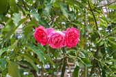 Closeup to Tripple Pink or Summer Damask Rose/ Rosa ? Damascena Mill./ Rosaceae Flowers poster
