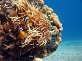 Clownfish and Sea Anemone. shot in the Red Sea poster