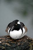 Male hooded merganser duck resting on a fallen log. poster