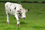 Black and white diary cow in lush green meadow poster
