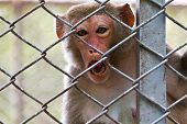 sad monkey in the cage of zoo poster