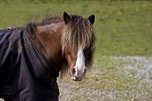 shetland pony wearing blanket having a bad hair day poster