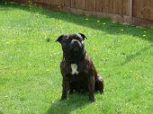 Boston a loving pedigree Staffordshire Bull terrier poster