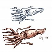 Squid isolated sketch. Invertebrate marine animal, european squid icon for seafood symbol, sea fishing and fishery industry themes, fish market label design poster