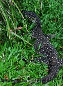 Lace Monitor (Lace Goanna) (Varanus varius) Lizard,  full body in grass poster