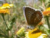 A Common Blue Butterfly poster