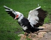 The magnificent male Muscovy Duck spreads its wings poster