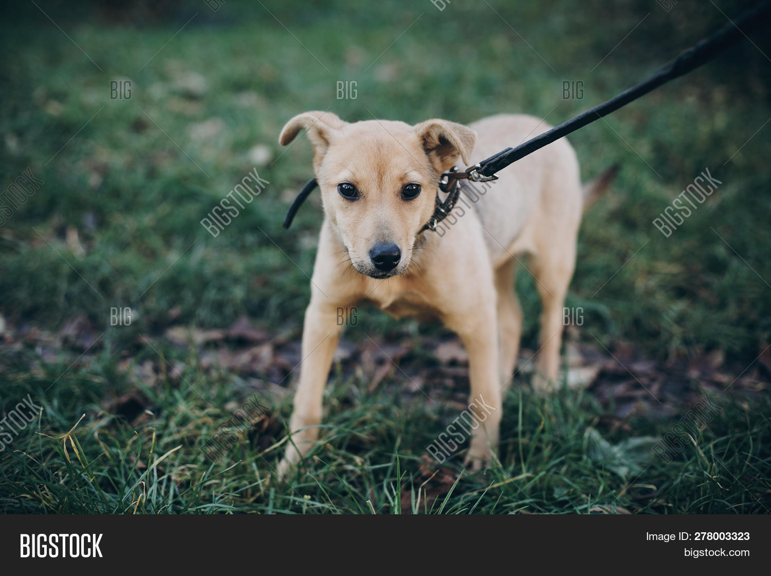 Cute Golden Puppy Image & Photo (Free Trial) | Bigstock