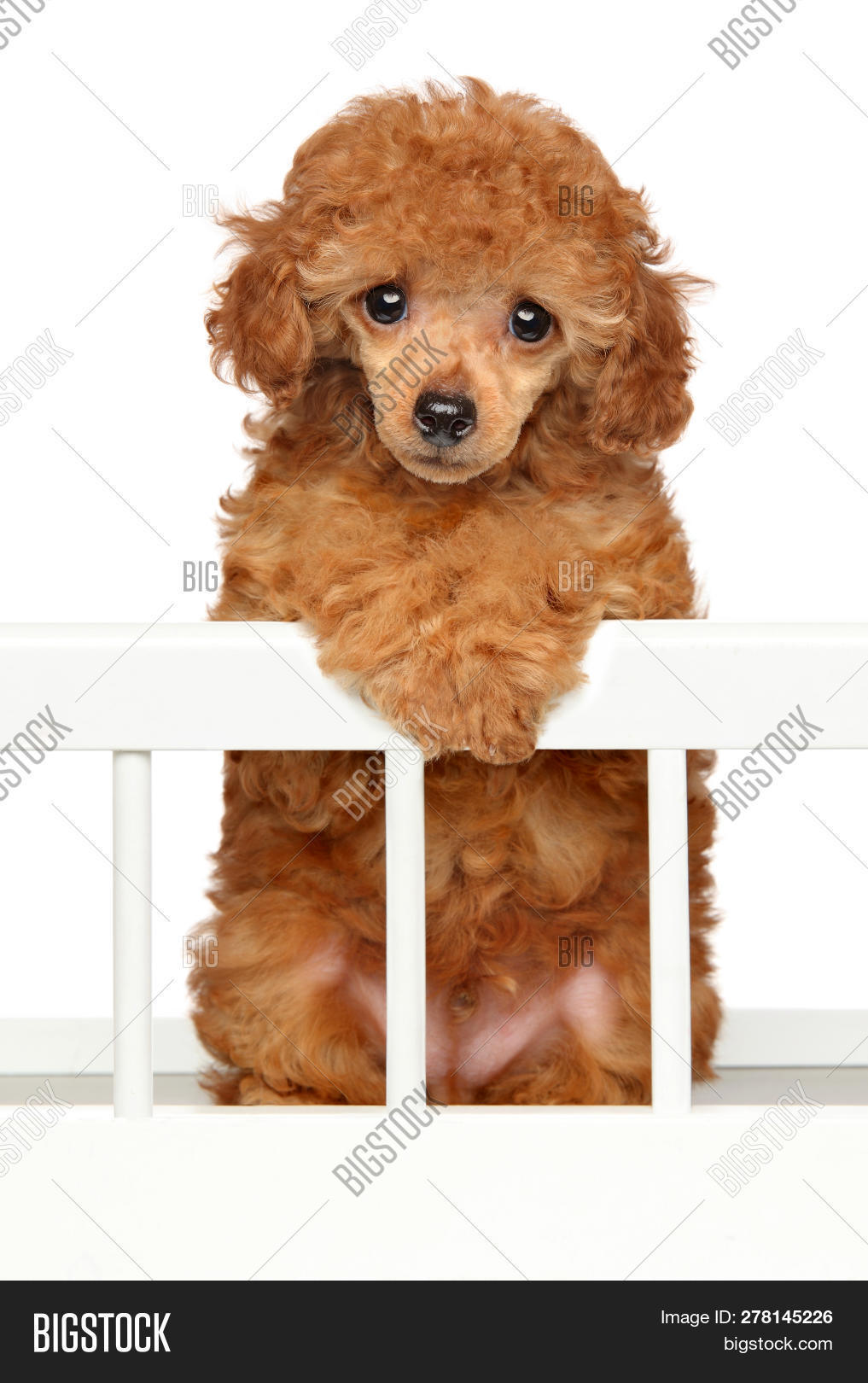 Red Toy Poodle Puppy Image Photo Free Trial Bigstock