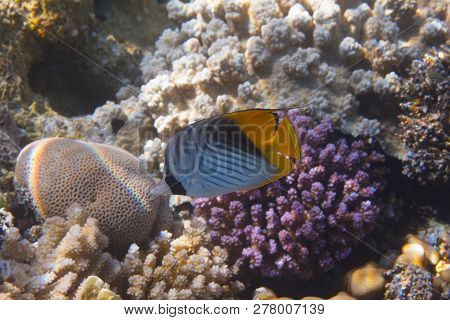 Threadfin Butterflyfish On Coral Reef In Red Sea Off Sharm El Sheikh, Egypt