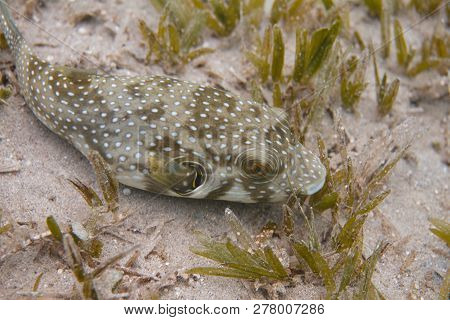 White-spotted Puffer With Seagrass In Red Sea Off Dahab, Egypt