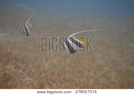Schooling Bannerfish Over Seagrass In Red Sea Off Dahab, Egypt