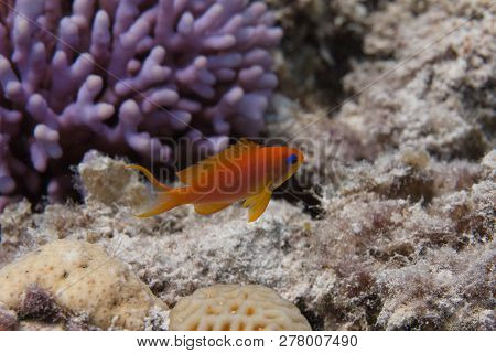 Lyretail Anthias on Coral Reef in Red Sea off Dahab, Egypt poster