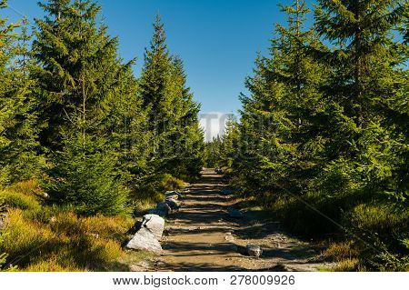Hiking Trail Between Young Spruce Trees In Untouched Wilderness