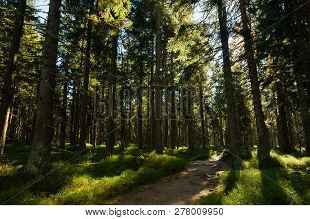Sunlit Hiking Trail In Lush Green Spruce Forrest