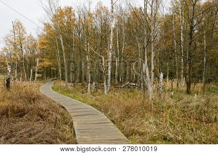 Wooden Pathway In Wild And Untouched Autumn Landscape With Birch Trees