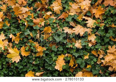 Colourful Pattern Of Organge Maple Leaves And Green Ivy In Autum.